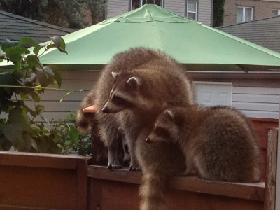 Family of Raccoons Mother Babies Fence