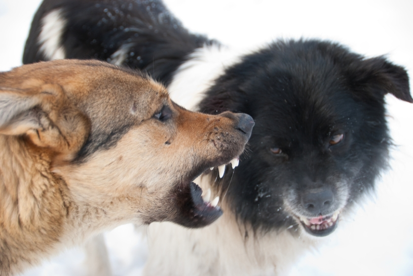 Two snarling dogs