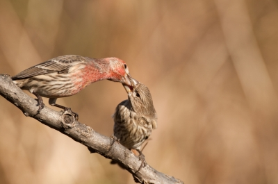 House Finch Feeding Baby Branch