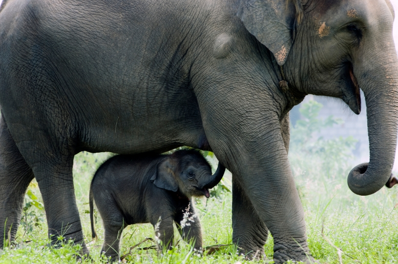 Elephants Mother Young