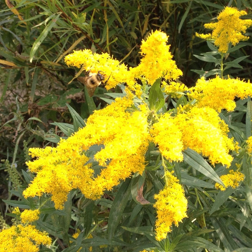Wild Goldenrod with Bumblebee