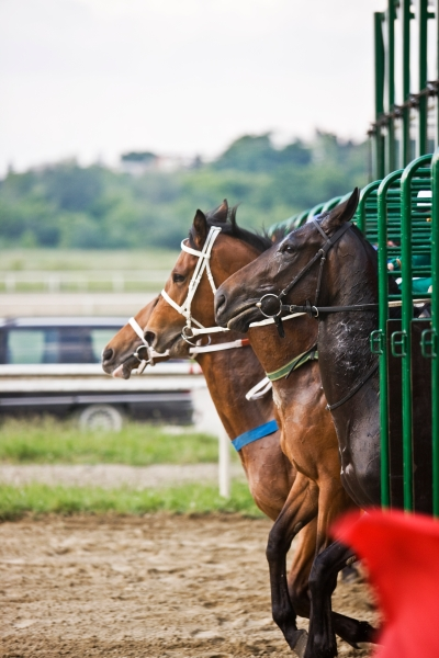 Race Horses At the Starting Gate