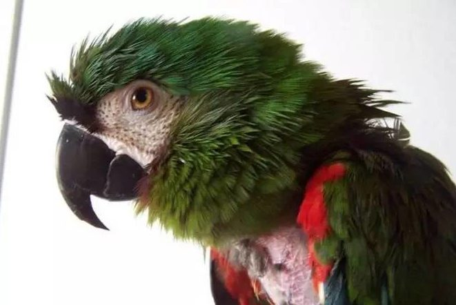 Depressed Red Tail Parrot Found Wechat Articles Foster Burris