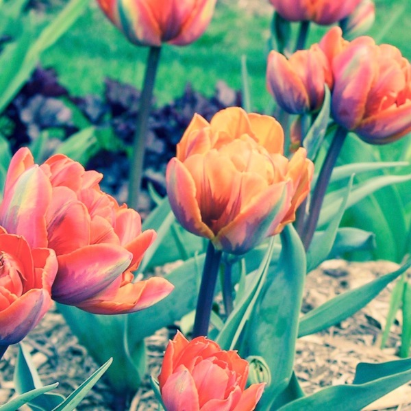 Double Tulips Bright Orange Yellow