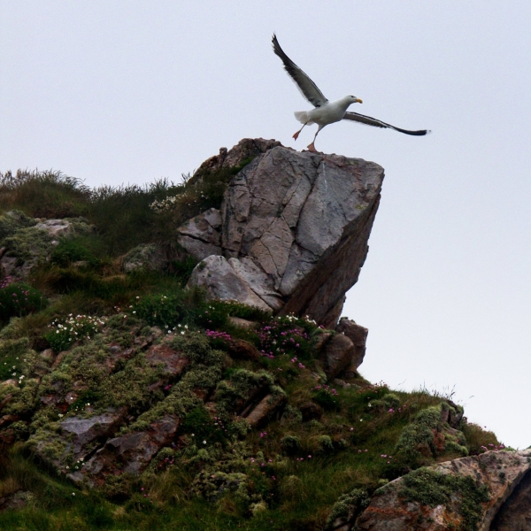 Gull about to takeoff from a rock